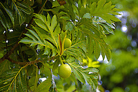 Close-up of the breadfruit (ulu) tree with plump green fruits amid the distinctive leaves. Sacred to Native Hawaiian culture. Photographed at Limahuli Gardens, on Kauai's majestic north shore. One of the 5 National Tropical Botanical gardens in the