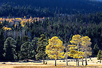 Herd of elk in a meadow with aspen and pine trees in Rocky Mountain National Park,