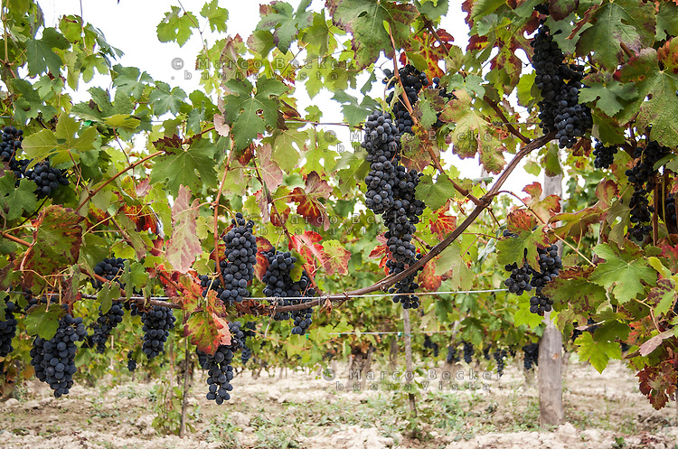 Oltrepò Pavese, uva nera --- Black grapes in the Oltrepò Pavese (province of Pavia)