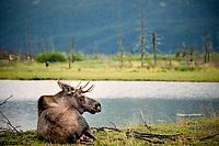 Moose (Alces alces), Alaska Wildlife Conservation Center, Alaska, United States, North America