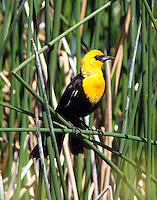 Yellow-headed blackbird male