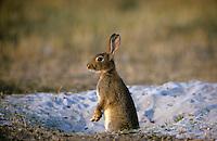 Europäisches Wildkaninchen, am Eingang zu seinem unterirdischen Bau, Wild-Kaninchen, Wildkanin, Kaninchen, Oryctolagus cuniculus, Old World rabbit