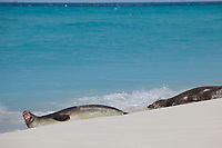 Hawaiian monk seal, Neomonachus schauinslandi, growling or vocalizing, Critically Endangered Species, Sand Island, Midway, Atoll, Midway Atoll National Wildlife Refuge, Papahanaumokuakea Marine National Monument, Northwest Hawaiian Islands ( Central North Pacific Ocean )