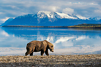 Coastal brown bear on Naknek beach, snow covered Mt. Katolinat, Katmai National Park, Alaska.