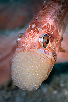 Cardinal fish with eggs in mouth in the Lembeh Strait / Indonesia