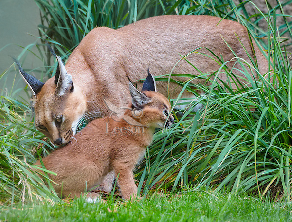 """Caracal (Caracal caracal) mom cleaning kitten.  The word """"Caracal"""" comes from the Turkish word """"karakulak"""" which means """"black ear.""""  Caracals are found in Africa through Central Asia and India."""
