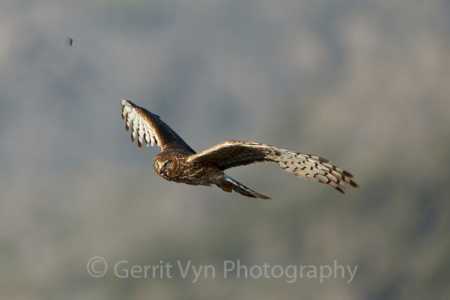 Female Northern Harrier (Circus cyaneus) in flight. Sublette County, Wyoming. May.