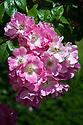 Rosa 'American Pillar', late June. A dark pink Wichurana rambler.