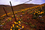 On the Washington State side of the Columbia River Gorge, in the Columbia Hills, Dalles Mountain Road climbs alongside Dalles Mountain Ranch, part of Horsethief Lake State Park.  This mid April view during high wind and rain is well before peak bloom.