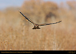 Northern Harrier in Flight (head-on), Bosque del Apache Wildlife Refuge, New Mexico