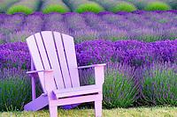 Chair in lavender field. Angels Lavender Farm. Washington