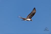 Martial Eagle in flight, Masai Mara, Kenya.