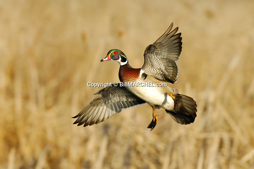 00360-086.08 Wood Duck (DIGITAL) drake is about to land in marsh.  Action, hunt, color, waterfowl, wetland.  H3L1