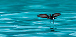 Antarctica, Wilson's storm petrel (Oceanites oceanicus) hovers above the surface of the Southern Ocean