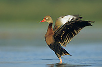 Black-bellied Whistling-Duck, Dendrocygna autumnalis, adult flapping wings, Welder Wildlife Refuge, Sinton, Texas, USA