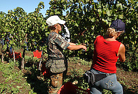 Azienda Agricola Casale Marchese è una azienda in una delle zone più tipiche della produzione del vino Frascati D.O.C. Situata nell'area dei Castelli Romani..The Casale Marchese company lies in Roman Hills. The most typical area for the wine production Frascati D.O.C..Contadini durante la raccolta di uva. Farmers during the harvesting of grapes..