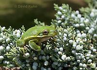 0605-0921  American Green Treefrog Climbing Tree at Outer Banks North Carolina, Hyla cinerea  © David Kuhn/Dwight Kuhn Photography