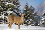 White-tailed doe standing in a winter field.