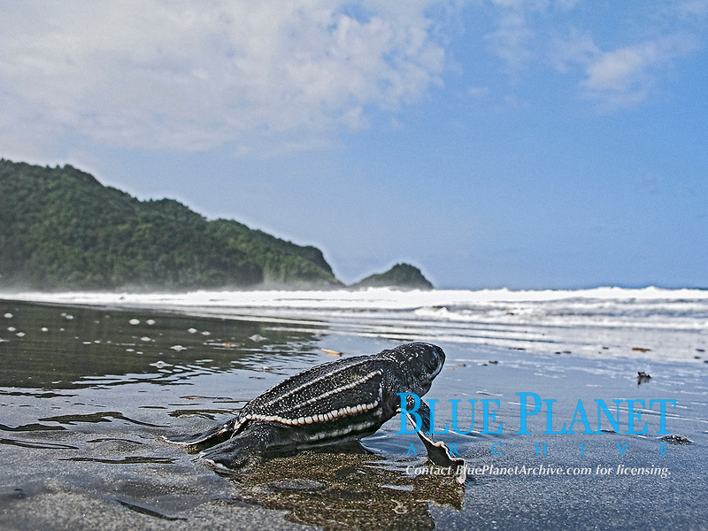 leatherback sea turtle hatchling, Dermochelys coriacea, running towards the ocean, Dominica, Caribbean, Atlantic Ocean