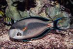 sohal suregonfish facing left