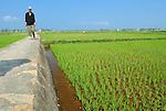 Asia, Vietnam, nr. Hoi An. Vietnamese rice field.