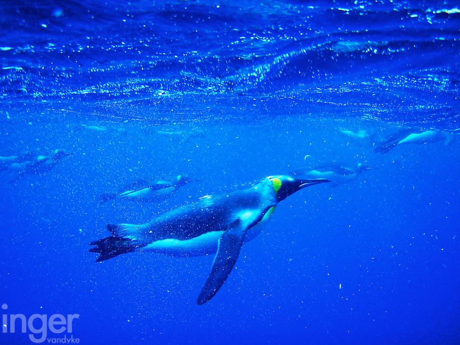 Swimming King Penguins at Lusitania Bay, Macquarie Island, Antarctica