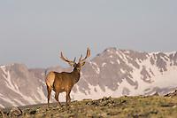 Elk, Wapiti, Cervus elaphus,Rocky Mountain National Park, Colorado, USA, June 2007
