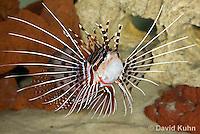 0130-1002  Antennata Lionfish (Broad-Banded Firefish, Spotfin Lionfish), Pterois antennata  © David Kuhn/Dwight Kuhn Photography