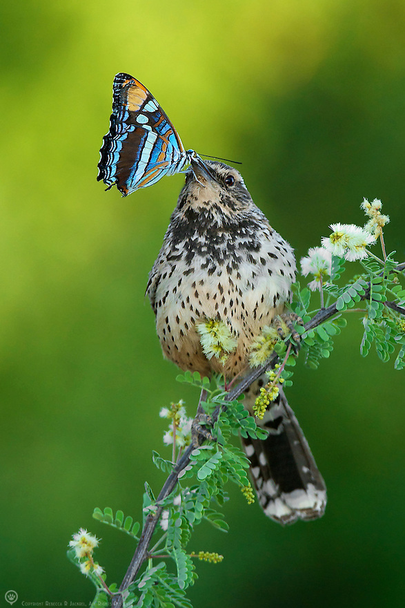A cactus wren holding a butterfly