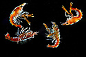 S3 larvae of European / Common Lobster (Homarus gammarus). Captive for eventual release to replenish wild population. The National Lobster Hatchery, Padstow, Cornwall, UK. May.