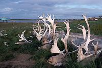 Tuktoyaktuk, NWT, Northwest Territories, Artic Canada - Reindeer / Woodland Caribou (Rangifer tarandus) Heads, with Attached Antlers