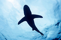 silhouette of oceanic whitetip shark, Carcharhinus longimanus, with pilot fish, Naucrates ductor, Cat Island, Bahamas, Caribbean Sea, Atlantic Ocean