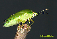 0827-07oo  Green Stink Bug - Acrosternum hilare - © David Kuhn/Dwight Kuhn Photography
