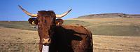 France/15/Cantal/Env de Paulhac: Vache race Salers dans les paturages du cirque de Granval dans le massif du Plomb du Cantal