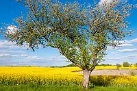 Apfelbaum (Malus domestica) an einem Feld mit Raps (Brassica napus) im Boitzenburger Land, Uckermark, Brandenburg, Deutschland