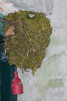 Zaunkönig, Zaun-König, Nest, Kugelnest, Troglodytes troglodytes, Eurasian Wren, Wren, le Troglodyte mignon