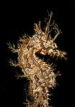 Frilled Seahorse, Hippocampus erectus, very ornate seahorse