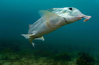 Australian ghostshark, elephant fish, plownose chimaera, whitefish, Callorhinchus milii, female, normally lives in deep water, but comes into shallows in summer to breed, Victoria, Australia (cr)