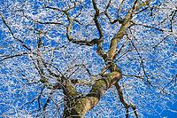 Von Raureif bedeckter Baum, Insel Töplitz, Werder/Havel, Potsdam-Mittelmark, Havelland, Brandenburg, Deutschland