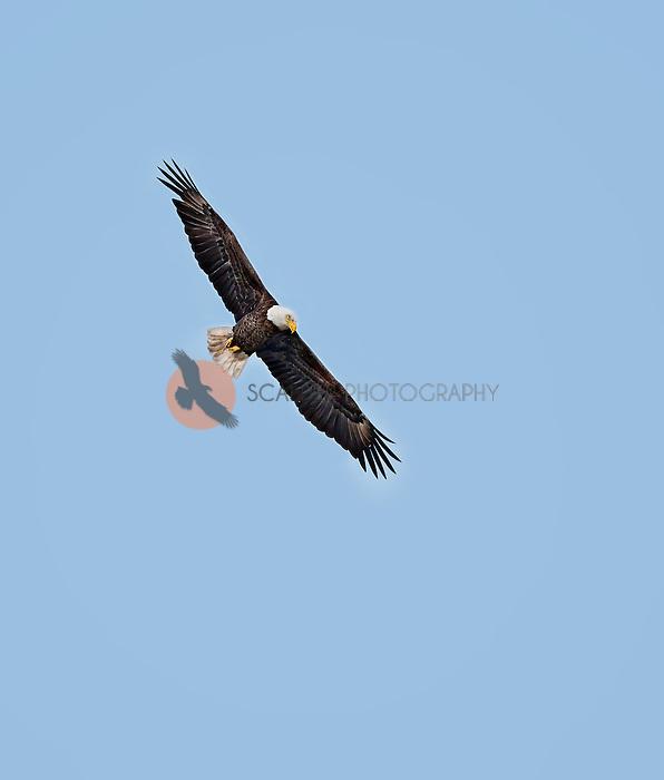 Adult Bald Eagle In flight soaring