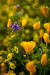 Golden California Poppies