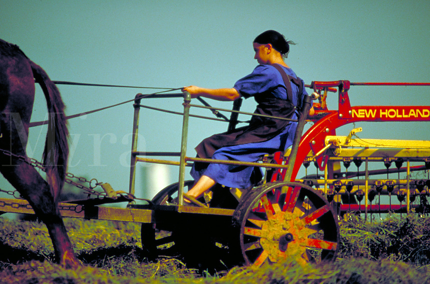 An Amish female works in the field driving the horse team which pulls a hay rake which turns the alphalfa cutting. Amish teen girl. Lancaster Pennsylvania United States farm.