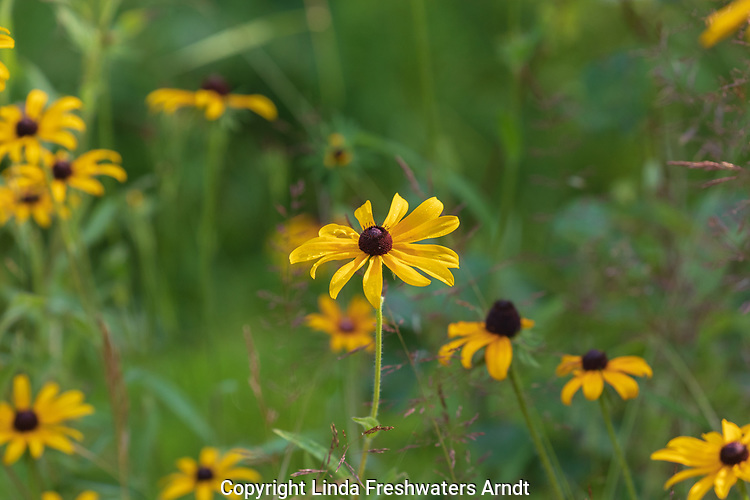Black-eyed Susan growing in northern Wisconsin.