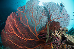 Munda, Western Province, Solomon Islands; a very large, red gorgonian sea fan growing on the side of a deep wall with a school of fusilier fish swimming above