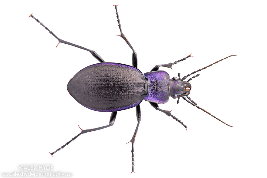 Violet Ground Beetle (Carabus violaceu) Peak District National Park, Derbyshire, UK. July. Focus stacked image, photographed on a white background in mobile feild studio.