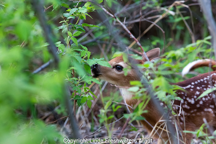 White-tailed doe with newborn fawns