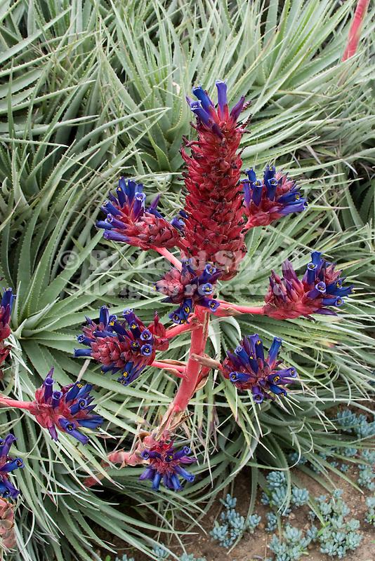 bromeliad, Puya coerulea