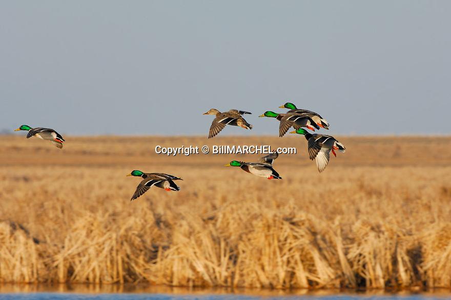 00330-066.03 Mallard Duck (DIGITAL) flock of seven has wings set as while in flight above cattail marsh.  H1L1