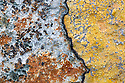 Lichens on dry stone wall, Isle of Mull, Scotland, UK. June.