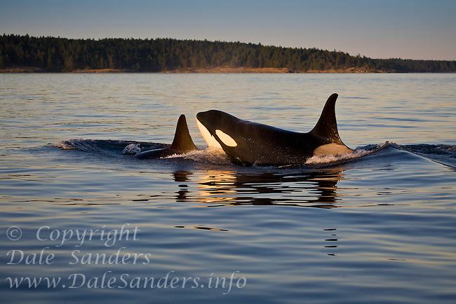 Resident Killer Whales in the middle of Haro Strait between  BC and Washington.